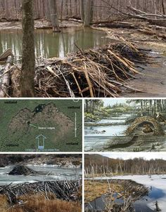 The longest recorded beaver dam in the world spans 2800 feet and has existed for over a decade. From the aerial images it is clear that at least two beaver families have worked in tandem in the construction of the record-setting structure. The nature of the wetland is such that long dams are needed to trap broad stretches of low-flowing water.