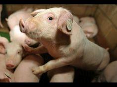 Gerade mal geboren. Und schon lebt es das Leben eines Tieres in der Massenhaltung.
