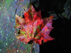 Todo el arco iris del otoño en una sola hoja  Cuando llega el otoño los árboles de hoja caduca empiezan a cambiar la tonalidad de sus hojas del verde al marrón intenso, antes de que se produzca su caida.   El descenso del nivel de clorofila y la presencia variable de otros pigmentos son los responsables de este cambio de color.