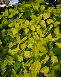 The aptly named Acalypha 'Green and Gold'. Acalypha cultivars with leaves variegated with yellow, such as Acalypha 'Green and Gold'. These plants can be used as highlights, in areas dominated by green foliage. These plants are particularly effective in bright semi-shade.