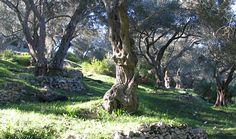Olive trees, Paxos