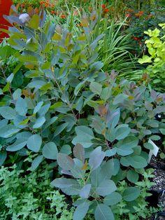 Cotinus coggygria 'Grace' Yoga Garden, Smoke Tree, Back Gardens, Google Images, Pop Up, Herbs, Gardening, Plants, Popup