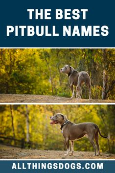 Whether you own a Pit mix, an American Pitbull Terrier, or any other type of Pitbull, there's always a perfect name to suit your unique, beautiful dog. Choose from our list of the best Pitbull names for one that your dog is sure to love. #pitbullnames #bestpitbullnames #pitbull Top Dog Names, Best Dog Names, Pet Names, Female Names, Original Dog Names, Male Dog Names Unique, Nanny Dog, American Pitbull