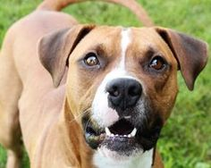 I'm Lincoln! I'm a 2yo Boxer mix who loves to run and play. I arrived at Wayside just a short while ago from another shelter that was out of room.  I am a happy go-lucky guy, friendly and energetic. I am good with other dogs, but I like to be a bit picky with who I keep company. I would really like to meet you and all of your family members, including canines, before we write our story. Please pin me so I can find a forever family! You can read more about me on Wayside's website!