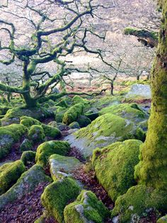 Wistman Woods of Dartmoor (Devon/England) Places To Travel, Places To See, Nature Verte, Foto Nature, Devon England, Devon Uk, Dartmoor National Park, Magical Forest, Dark Forest