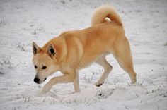 Canaan dog. I want one of these! :)