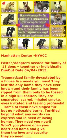 """There is 'Grandma' aka Diva, 'Pacman' the Dad, 'Shay' aka Bella the Mom, 6 puppies only 5 months old – Taz aka Lex, Amanda, Nicole, Mike, Ebony, and Gracie, """"Fuego"""" aka Poe a neutered 5 year old mix, and 'My Little' aka Barky a 9 yr old Pomeranian. I am sure they would give you all the love in return you could possibly ask for!!!"""