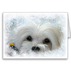 This Christmas Card features Snowdrop, a sweet little Maltese peeping out from some frost and snow with a Christmas Bauble.