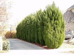 What Is Skip Laurel Plant? Why To Purchase Them? Privacy Trees, Privacy Hedge, Privacy Plants, Privacy Landscaping, Hedging Plants, Laurel Plant, Laurel Hedge, Conifer Trees, Evergreen Shrubs