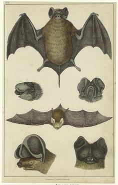 Notcheared bat ; Slender bat ; Rufous bat.