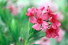 Oleander plants are among the most versatile of shrubs, with dozens of uses in southern and coastal landscapes. For tips on growing and caring for oleander shrubs in the landscape, this article will help. Deadly Plants, Poisonous Plants, Edible Plants, Oleander Plants, Shrubs For Landscaping, Garden Shrubs, Poison Garden, Pot Plante, Nerium