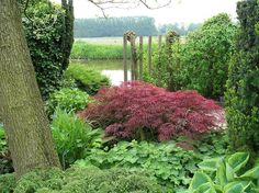 Japanese maple surrounded by greens @ showgardens in Appeltern, Netherlands