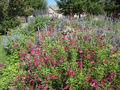 salvias are the workhorses in hot summer TX gardens:  'Henry' and 'Augusta' Duelberg (Salvia farinacea)  Autumn Sage (Salvia greggii)  Mexican Bush Sage (Salvia leucantha)  Russian Sage (Perovskia atriplicifolia)