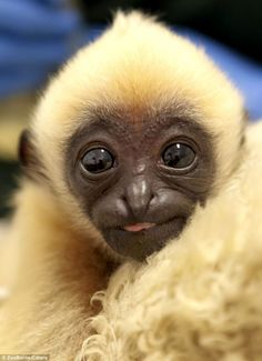 "magicalnaturetour: ""Nakai, the Northern White-cheeked Gibbon, was born in Perth Zoo. Photo by ZooBorns/Caters via dailymail "" Primates, Mammals, Rare Animals, Cute Baby Animals, Animals And Pets, Funny Animals, Animal Babies, Cutest Animals, Cute Animal Photos"