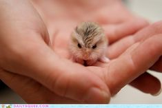 Teeny Tiny Gerbil