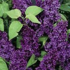 Imagini pentru soiuri de liliac de gradina Liliac, Plants, Plant, Planets