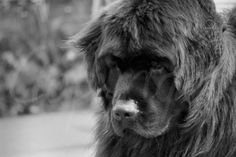Newfoundland Dog, Black and White Photography, Dog Picture, Blank Greeting Card, Gift Idea for Dog Lover, Home Decor Nursery or Child's Room