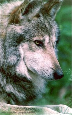 Beautiful Mexican Gray Wolf