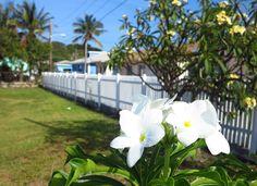 Frangipani flowers, Green Turtle Cay, Bahamas. Save Save