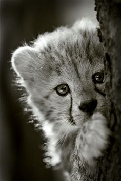 I'm not a big cat person, but this baby cheetah is adorable!!