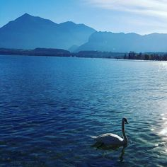 Swan on Lake Thun