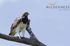 Birding with Wilderness Safaris - Martial eagle