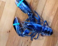 Only about 1 in 2 million lobsters is blue –  like this one hauled in off Pine Point in Scarborough – according to the Lobster Institute at the University of Maine in Orono.