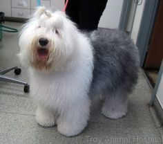 It's so fluffy! This is Bella. #oldenglishsheepdog