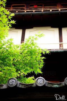 https://flic.kr/p/cfG4so   Fresh and Mellow   PENTAX K-5, SIGMA18-125mm f3.8-5.6 DC Fresh green maple leaves at KYOTO