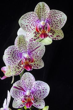 These are phalaenopsis orchid flowers. This one's flowers are quite exotic looking.