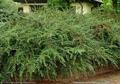 Plant Gallery - Encyklopedia Roślin: Cotoneaster horizontalis - Irga pozioma