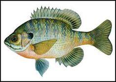 Winter Crappie Fishing For Slabs Part Arkansas Crappie Fishing December 2016 Crappie Fishing, Kayak Fishing, Fishing Knots, Sport Fishing, Aquatic Insects, Types Of Fish, Fish Print, Sea Fish, Freshwater Fish