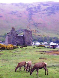Deer at the ruins of the 16th century Lochranza Castle, Isle of Arran, Scotland