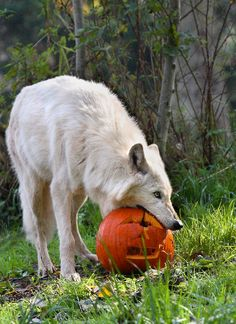 White wolf at Woodland Park. Picture by Dennis Dow #wolf #pumpkin