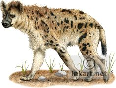 Full color illustration of a Spotted Hyena (Crocuta crocuta)