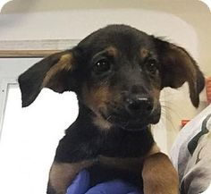Asheville, NC - Hound (Unknown Type)/Shepherd (Unknown Type) Mix. Meet Mable, a…