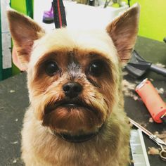 I am in love  Knucky is a cute boy #yorkie #yorkies #yorkshireterrier #yorkiesofinstagram #yorkiepuppy #boy #pooch #poochie #dog #doggie…