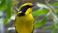 The Helmeted Honeyeater is the only bird species found exclusively in Victoria and also happens to be Victoria's state bird emblem.   See more at: http://www.actwild.org.au/animals/honeyeater/#sthash.3dPmuV0z.dpuf
