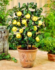 Grow an apple tree in a pot. http://balconygardenweb.com/growing-apple-trees-in-pots-care/