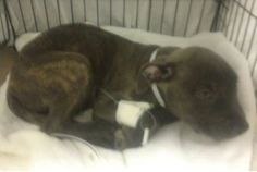 SUPER SUPER SUPER URGENT 5/6/14 Manhattan Center  LABOY - A0998865 *** PRAVO+ *** NEEDS TO LEAVE BY 6 PM ON 5/6/14 ***  I am an unaltered male, brown brindle Pit Bull Terrier mix. The shelter staff think I am about 9 weeks old. I was found in NY 10454. I have been at the shelter since May 06, 2014.  https://www.facebook.com/photo.php?fbid=798710763475138&set=a.617942388218644.1073741870.152876678058553&type=3&theater