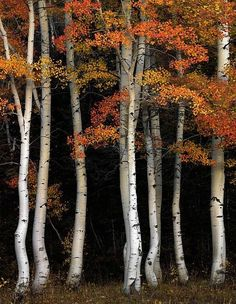 Aspen Contrast by Leland D Howard is part of Aspen trees - Idaho, southeast, Aspens in autumn in the Cache National Forest stand out against dark pines and mountainside Best nature and landscape photography for wall art by Leland D Howard Idaho, Aspen Trees, Tree Forest, Forest Scenery, Birch Forest, Birch Tree Art, White Birch Trees, Birch Bark, Nature Tree