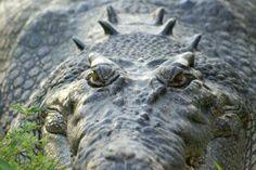Croc alert