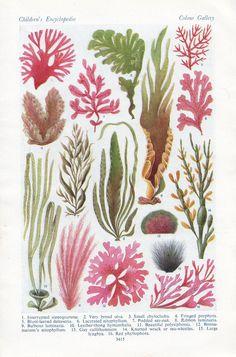 Items similar to vintage SEA WEED print botanical Algae print sea plants bedroom decor on Etsy Underwater Plants, Underwater Art, Underwater Flowers, Vintage Botanical Prints, Botanical Art, Botanical Drawings, Sea Plants, Foliage Plants, Plant Drawing
