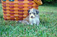 Sunny Female Aussie Doodle with One Blue Eye AVAILABLE and ready for new home Nov. 1st, 2013