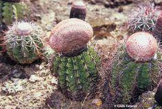 Melocactus deinacanthus