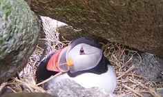 Spying on Puffins | Audubon