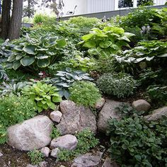 Hostas!!!  I think this is what I'm going for on the front hill, any thoughts?