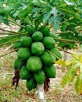 Como Plantar e Cultivar Mamao (1)