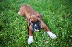 Boxer puppy.