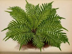 The Book of Choice Ferns for the Garden 1892-'94